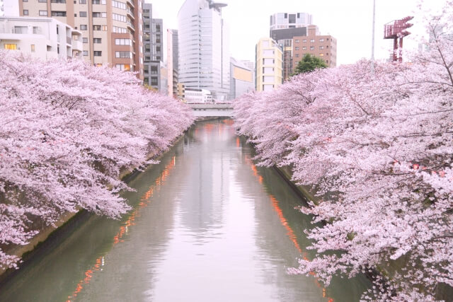 Photo of Most popular cherry blossoms spot in Tokyo! – Meguro River