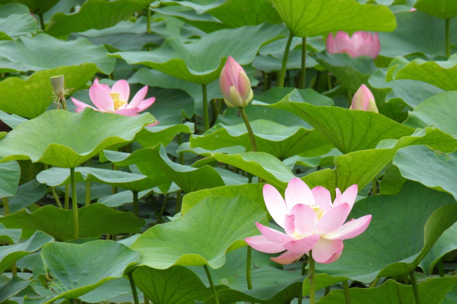 Photo of Địa điểm ngắm hoa sen tại khu vực tỉnh Kanagawa
